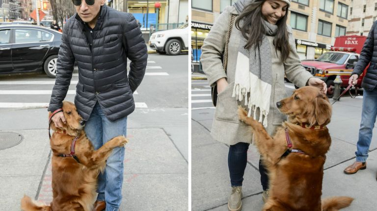 Louboutina, a golden retriever who lives with her owner in Chelsea, loves to give hugs to New Yorkers on the street.